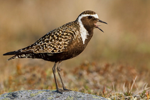 American Golden-Plover, Glenn Bartley