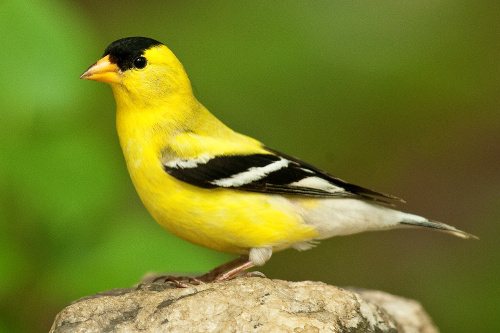American Goldfinch, Dusty Viedeman