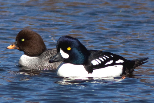 Barrow's Goldeneye, Alan Burger