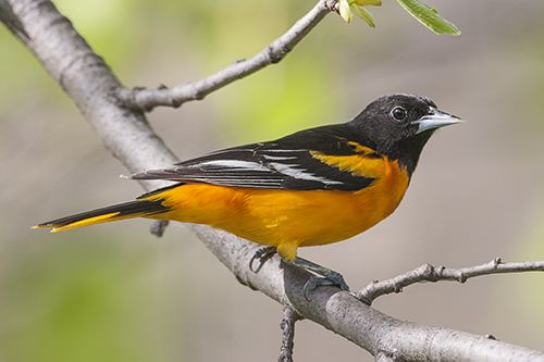 Oriole de Baltimore, John Gordon