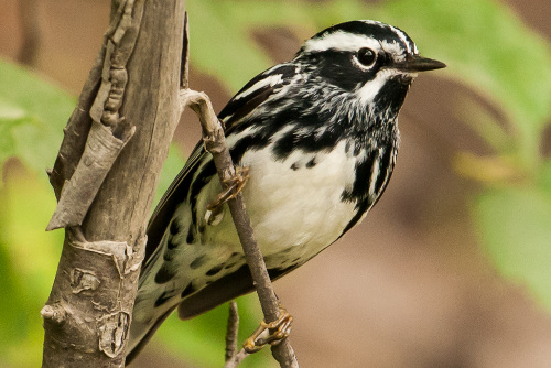 Black-and-white Warbler, Ian Routley