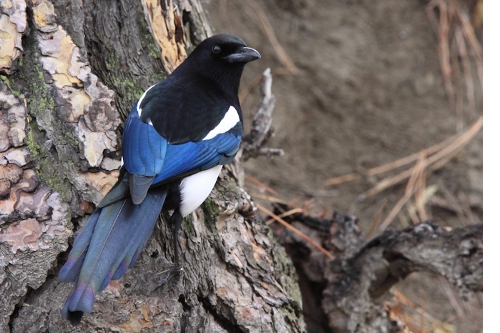 Black-billed Magpie, Laure Wilson Neish