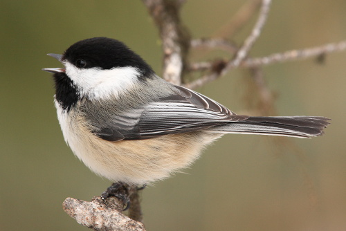 Black-capped Chickadee, Laure Wilson Neish