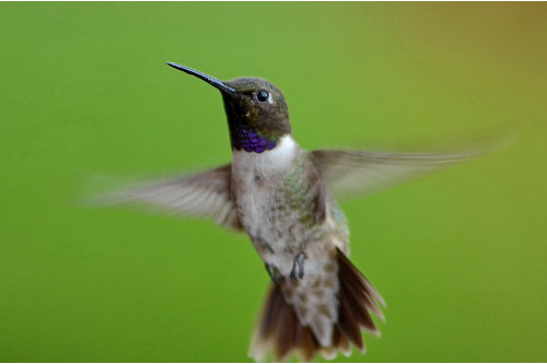 Black-chinned Hummingbird, Tania Simpson