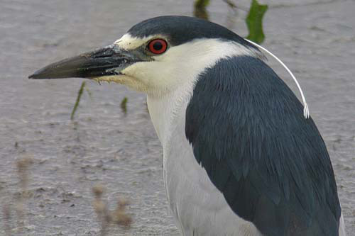 Black-crowned Night-Heron, Christian Artuso