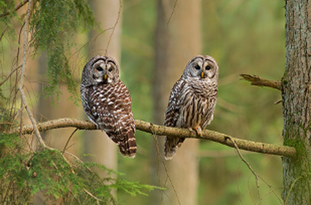 Barred Owl, Jess Findlay