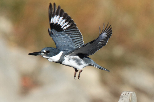 Belted Kingfisher, Laure Wilson Neish