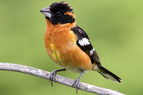 Black-headed Grosbeak, Ralph Hocken