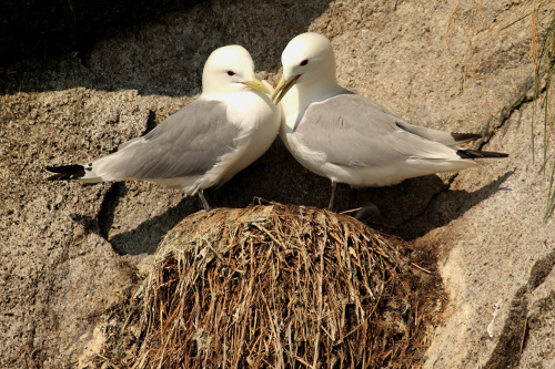 Black-legged Kittiwake, Laure Wilson Neish