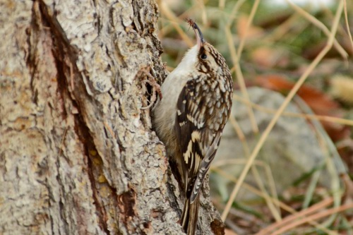 Brown Creeper, Tania Simpson