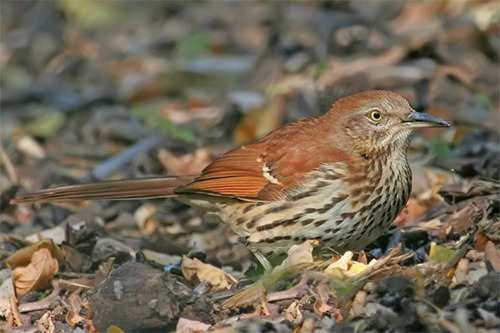 Brown Thrasher, Nick Saunders