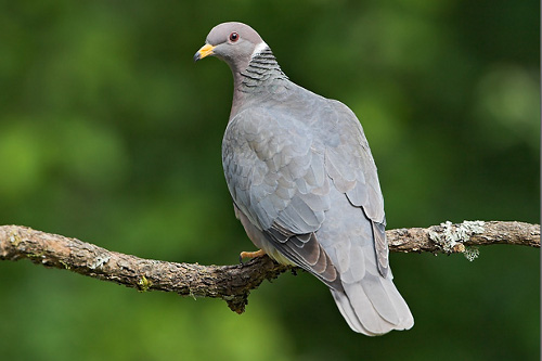 Band-tailed Pigeon, Glenn Bartley