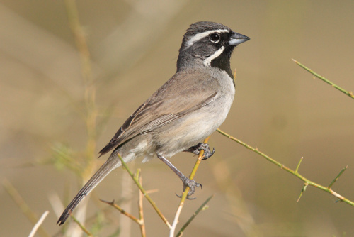 Black-throated Sparrow, Laure Wilson Neish