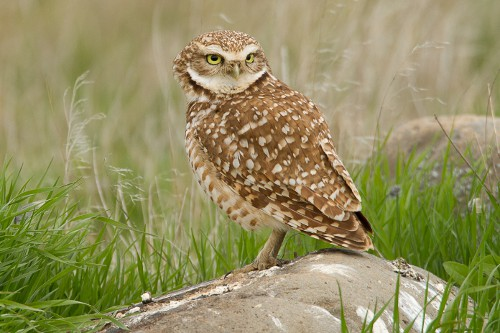 Burrowing Owl, Jared Hobbs