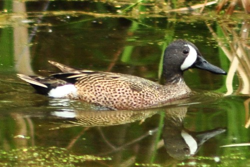 Blue-winged Teal, Tania Simpson