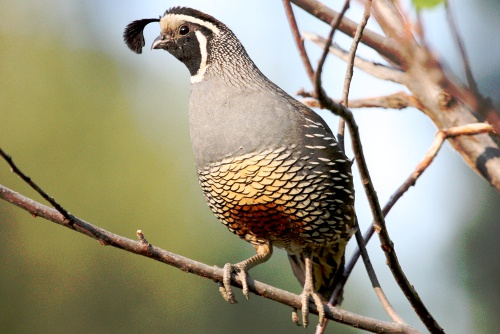 California Quail, Chris Charlesworth