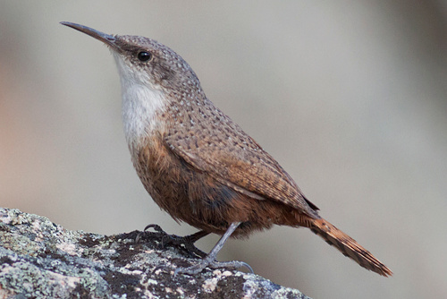 Canyon Wren, Jess Findlay