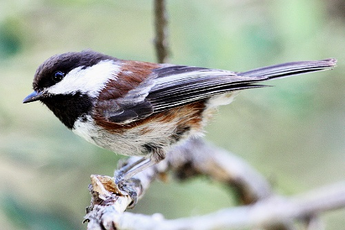 Chestnut-backed Chickadee, Chris Charlesworth