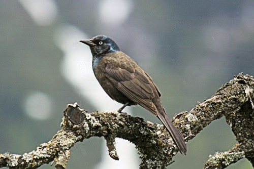 Common Grackle, Kevin Knight