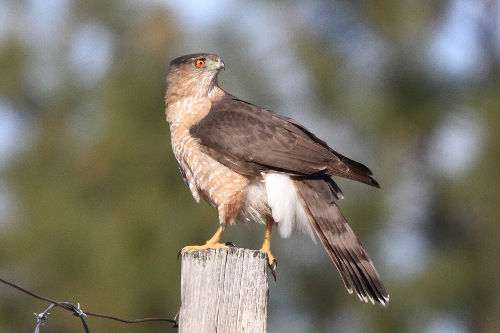 Cooper's Hawk, Laure Wilson Neish