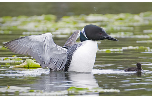 Common Loon, North and South Photography
