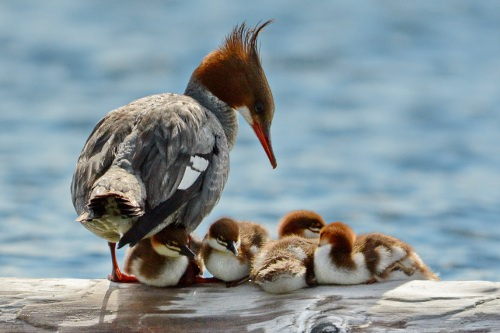 Common Merganser, Tania Simpson