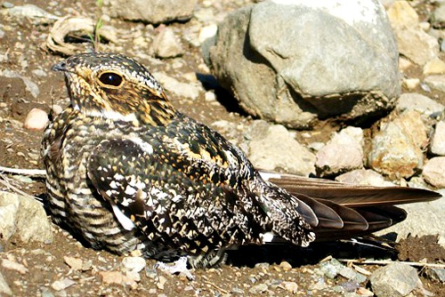 Common Nighthawk, Christopher Di Corrado