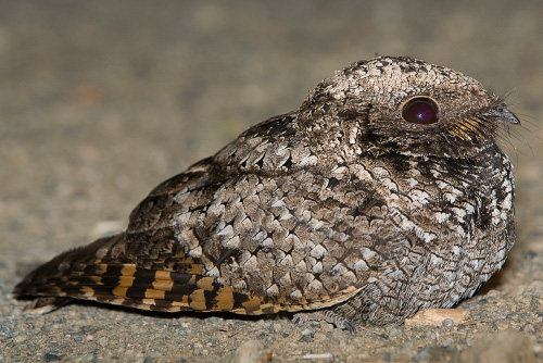 Common Poorwill, Ian Routley