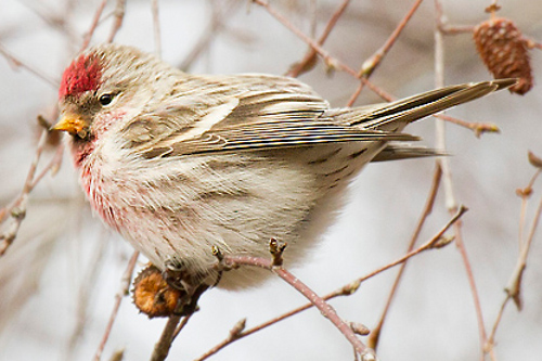 Common Redpoll, Peter Candido