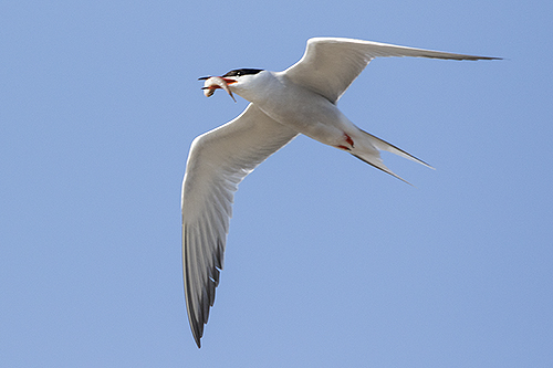 Common Tern, Ron Ridout