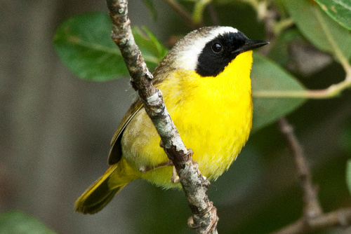 Common Yellowthroat, Dusty Veideman