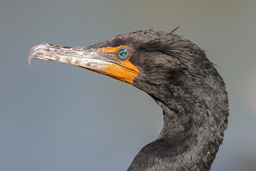 Double-crested Cormorant, Ron Ridout