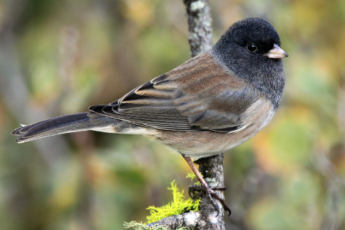 Dark-eyed Junco, Laure Wilson Neish