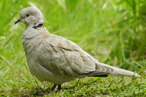 Eurasian Collared-Dove, Pam Laing