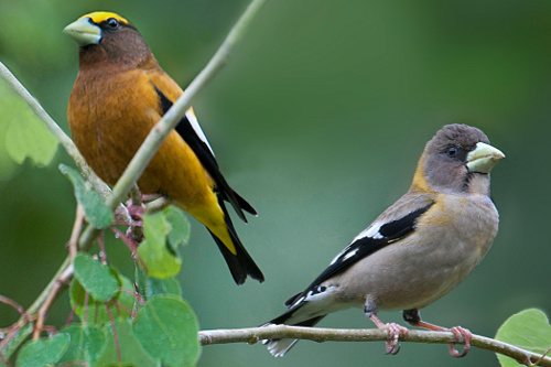Evening Grosbeak, John Gordon