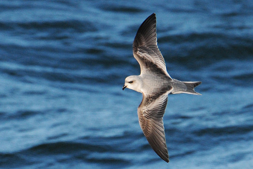 Fork-tailed Storm-Petrel, Mike Yip