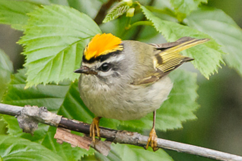 Golden-crowned Kinglet, Ian Routley
