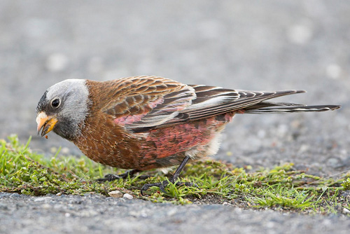 Gray-crowned Rosy-Finch, Glenn Bartley