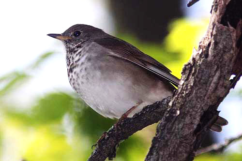 Gray-cheeked Thrush, Christian Artuso