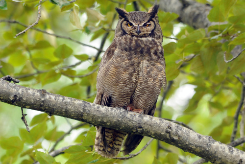 Great Horned Owl, Dusty Veideman