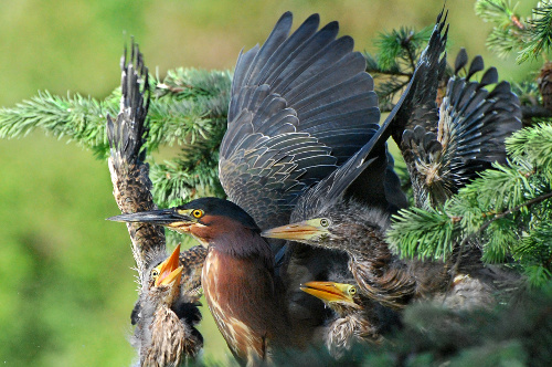 Green Heron, Mark Habdas