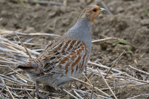Gray Partridge, H. Loney Dickson