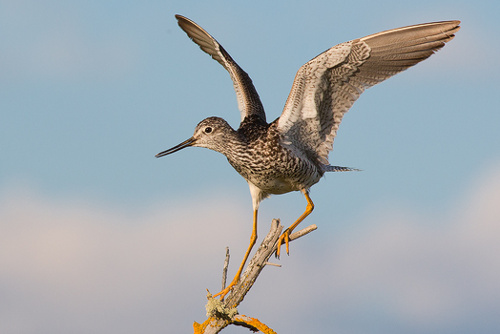 Greater Yellowlegs, Jess Findlay