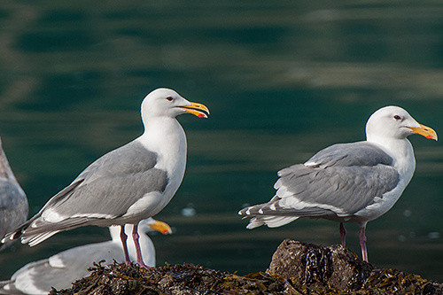 Glaucous-winged Gull, Ian Routley