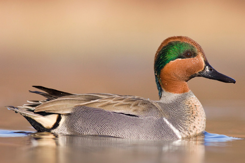 Green-winged Teal, Jess Findlay