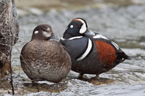 Harlequin Duck, Laure Wilson Neish
