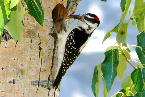 Hairy Woodpecker, Alan E. Burger