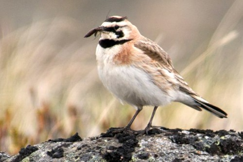 Horned Lark, Catherine Jardine