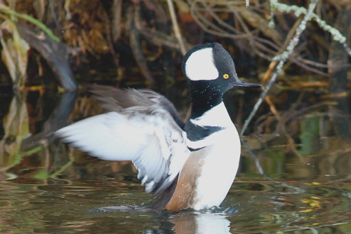 Hooded Merganser, Dan Shervill