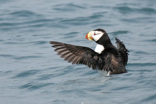Horned Puffin, Peter Candido